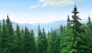 Spruce Trees with Mountains